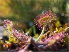 Rundblättriger Sonnentau (Drosera rotundifolia).....
