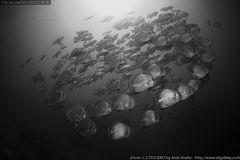 Rundkopf-Fledermausfische (Platax orbicularis) in Formation
