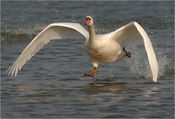 Running Swan