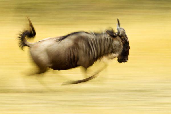 ...running wildebeest...