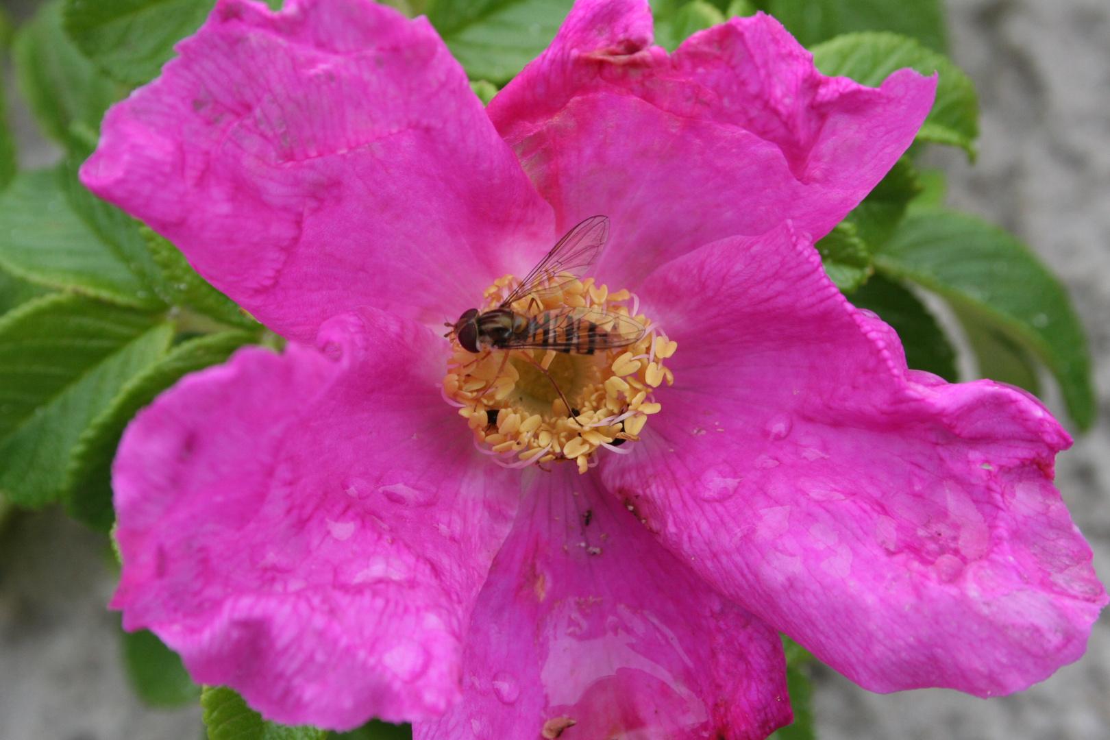 Runzelrose (Rosa rugosa)