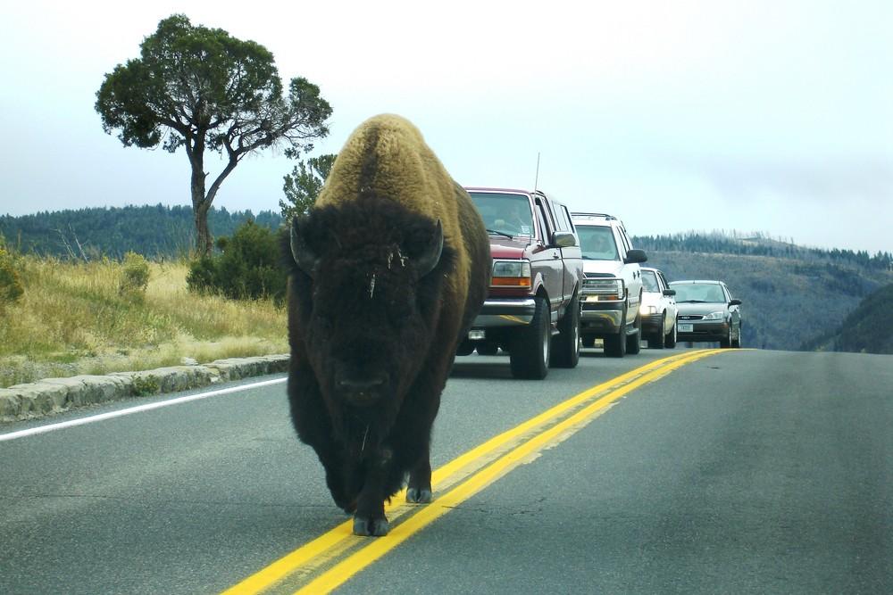 Rush Hour im Yellowstone National Park