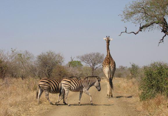 Rushhour mit Zebra-Streifen