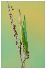 Ruspolia nitidula - femmina