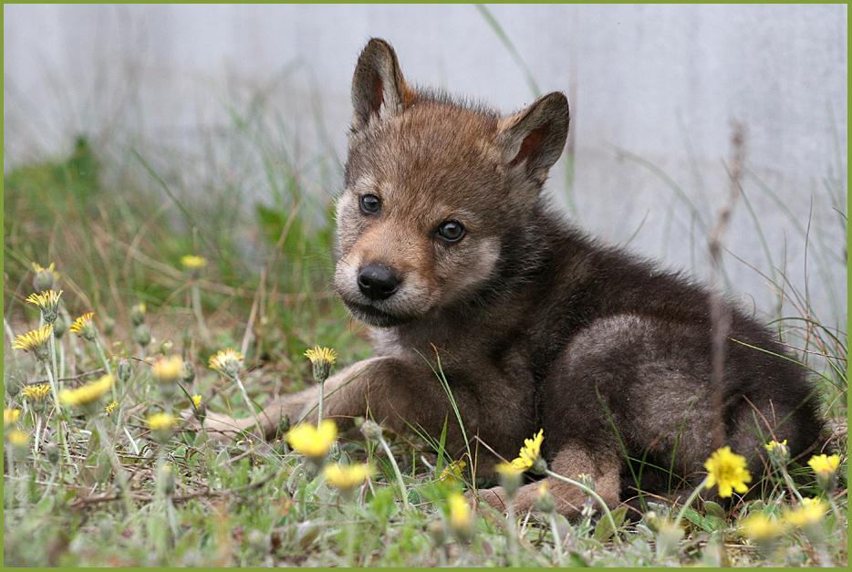 """russischer Wolfswelpe """"Zhorik"""""""