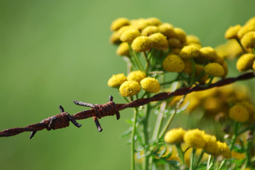 Rusty barbwire fence