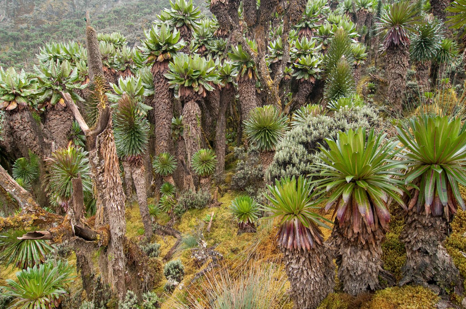 Ruwenzori-Gebirge in Uganda