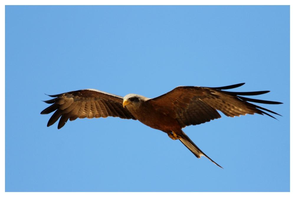 SA #5 - Yellow-billed Kite