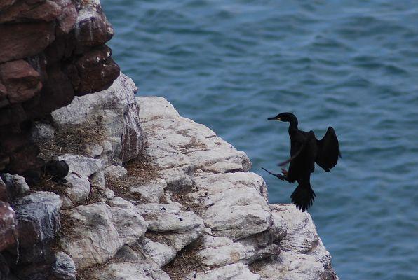 Sa majesté cormoran