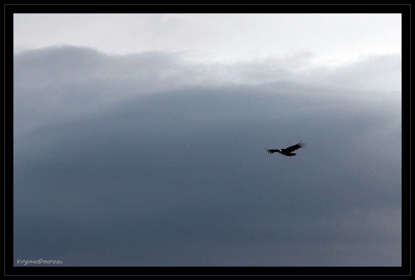 Sa majesté le Condor des Andes...