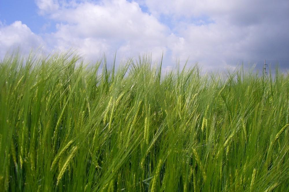 saarländischer Weizen
