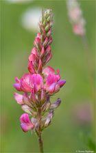 Saat-Esparsette (Onobrychis viciifolia)