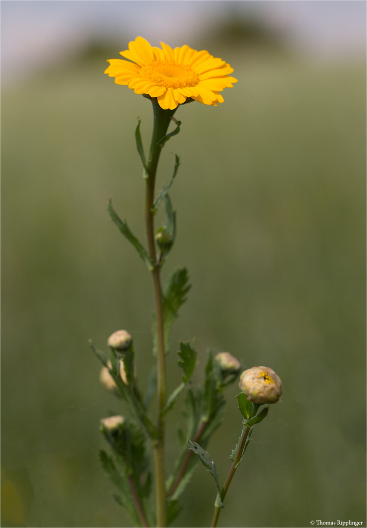Saat-Wucherblume (Glebionis segetum)