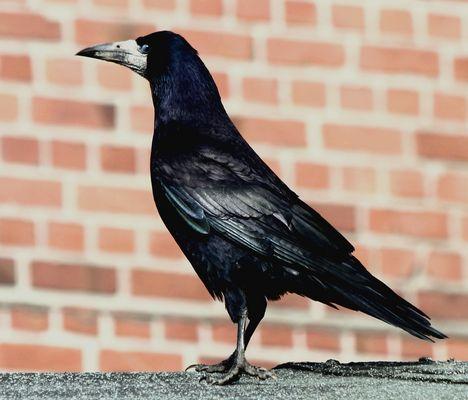 Saatkrähe (Corvus frugilegus frugilegus)