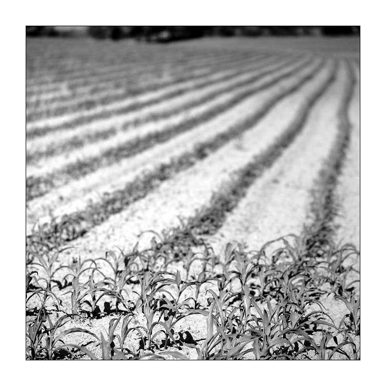 Saatreihen - Sinsheimer Feld-Impressionen X