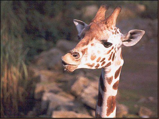 sabbernde Giraffe