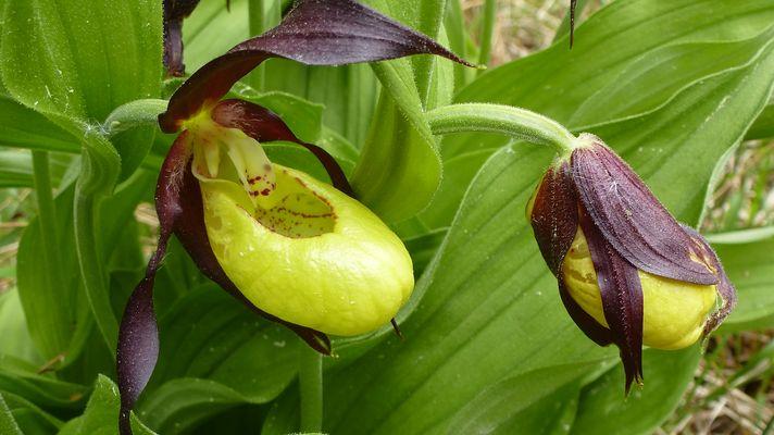 Macro orchid es images photos - Orchidee sabot de venus ...