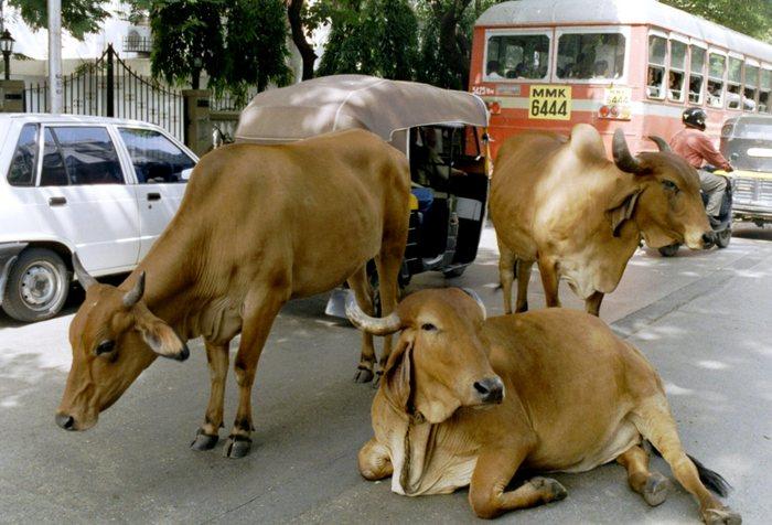 sacred cows :))