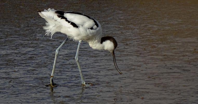 Säbelschnäbler (Recurvirostra avosetta)...