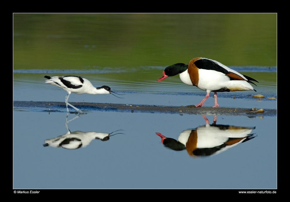 Säbelschnäbler und Brandgans (Erpel) drohen sich • Insel Texel, Nord-Holland, Niederlande (21-21271)