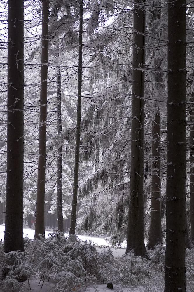 Sächs. Schweiz - Hinterhermsdorf, Baumallee im Winter 1