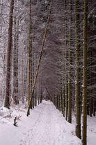 Sächs. Schweiz - Hinterhermsdorf, Baumallee im Winter 2