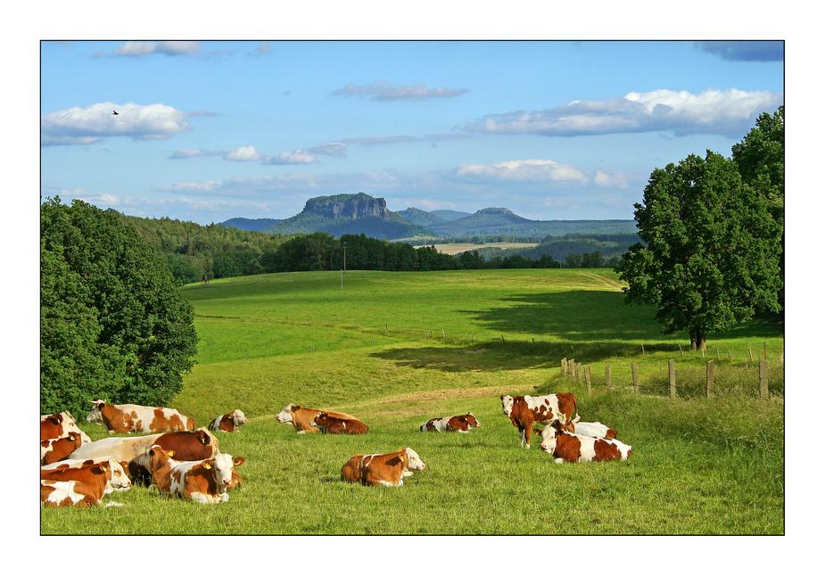 Sächsische Kühe
