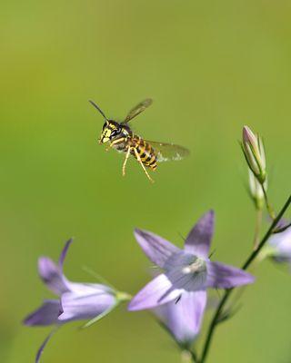 Sächsische Wespe im Flug