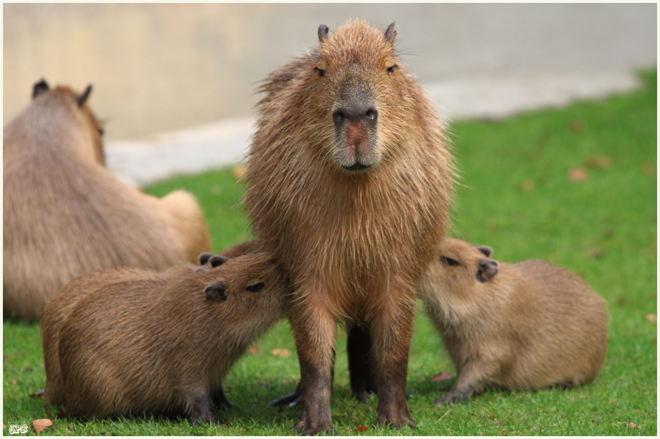 s ugendes capybara im zoo k ln foto bild tiere zoo wildpark falknerei s ugetiere bilder. Black Bedroom Furniture Sets. Home Design Ideas