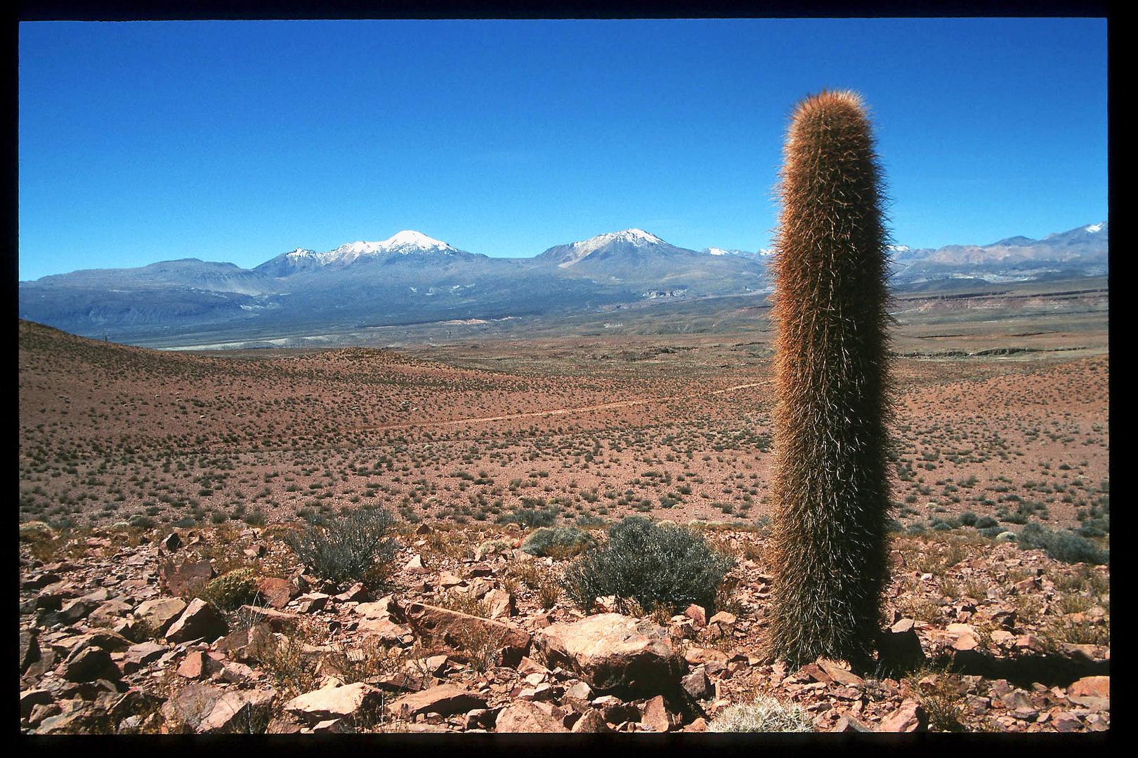 Säulenkaktus vor Vulkanen - Chile