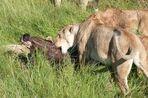 Safari Impression: Der finale Biß