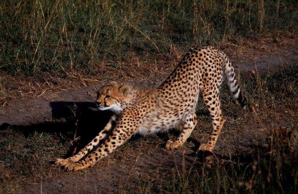 Safari in der Masai Mara