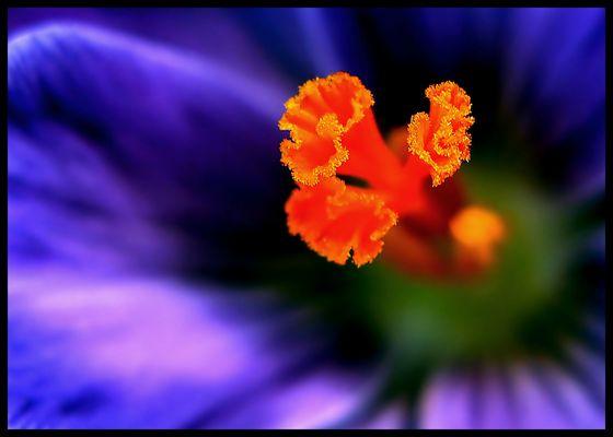 Safran / Crocus sativus