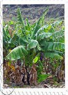 Sagmal woher kommen eigentlich die Bananen!!