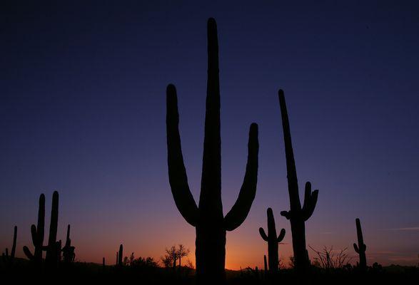 Saguaros im Sonnenuntergang