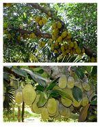 Saigon - auf einer Obstplantage