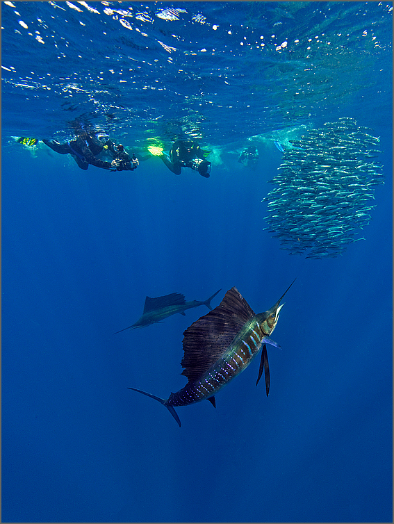 Sailfish on the hunt