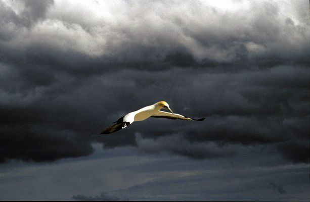sailing gannet