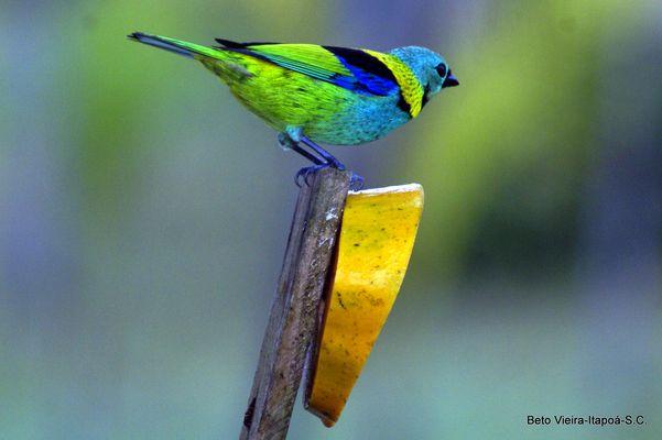 Saíra-sete-cores / Tangara seledon / Calliste à tête verte