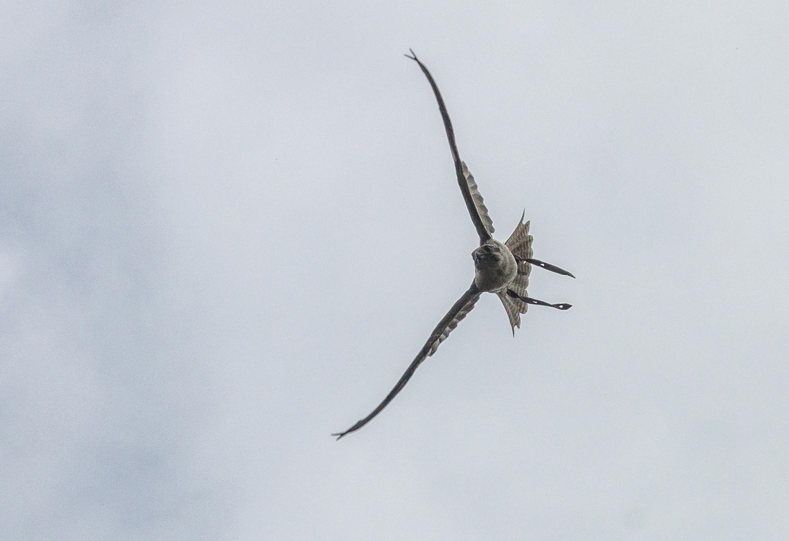 Saker-Falke 2