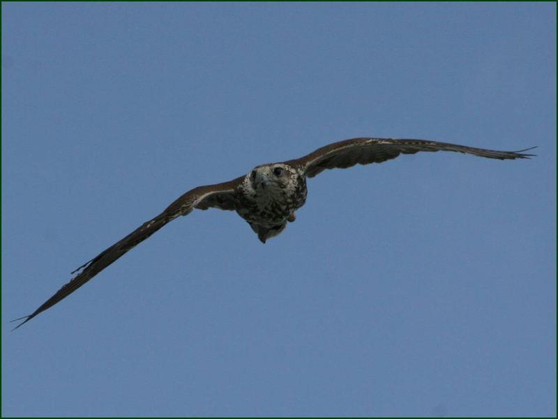 Sakerfalke(Würgfalke) ,Falco ch.cherrug-Nina