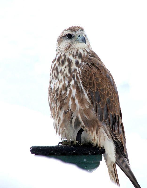 Sakerfalke(Würgfalke),Falco cherrug-zwei Jahre Alt,female