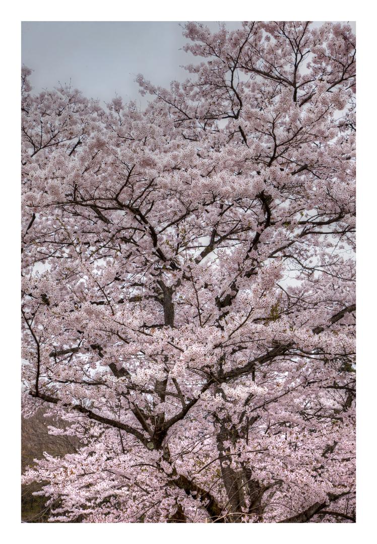 Sakura -12