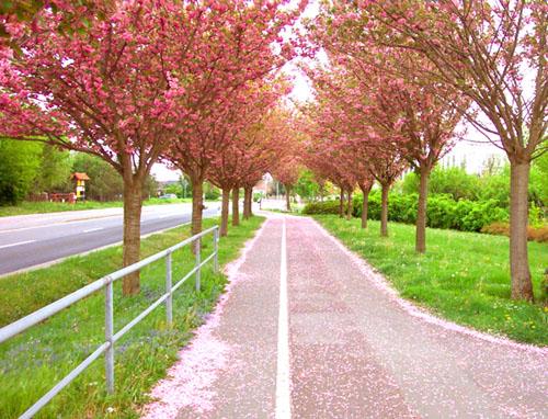 Sakura-Allee