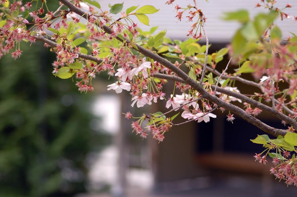 Sakura. Die letzten Blüten...
