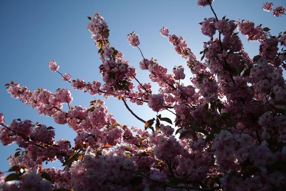 sakura in sun
