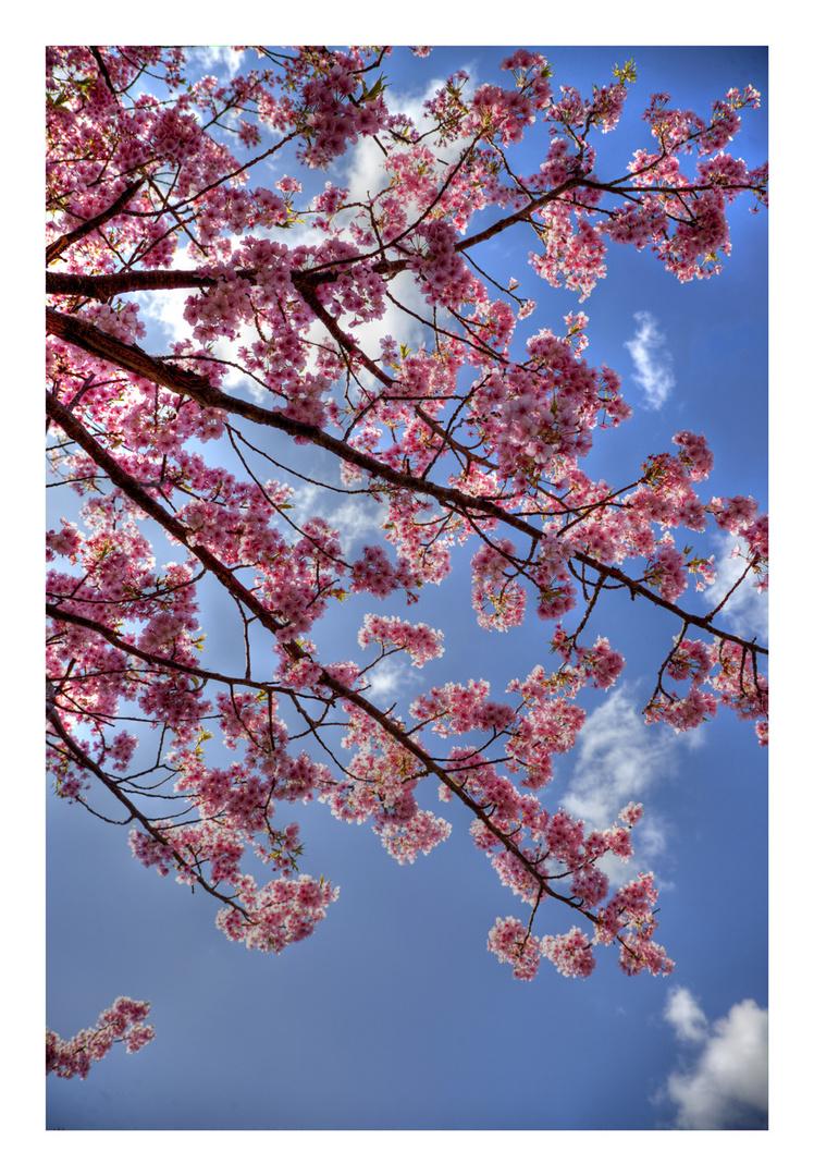 Sakura Sakura-8