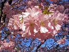 Sakura- Verbessert
