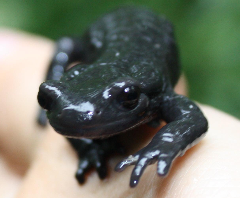 ?Salamander?