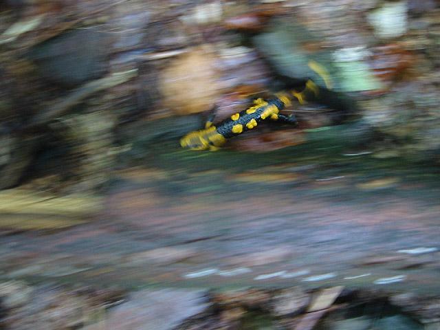 Salamander auf der Flucht